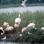 Flamingo Brutkolonie mit einzelner angreifender Möwe ZV BSZ.tiff Kopie