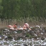 FlamingokolonieaufInsel_BSZ_kl